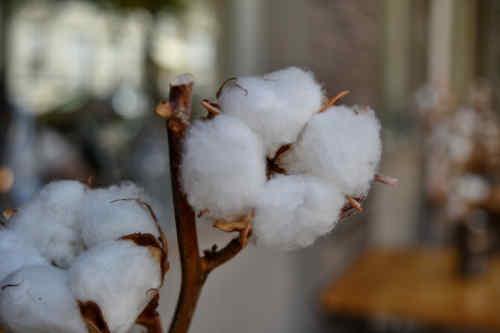 Belle bracnche de coton bio